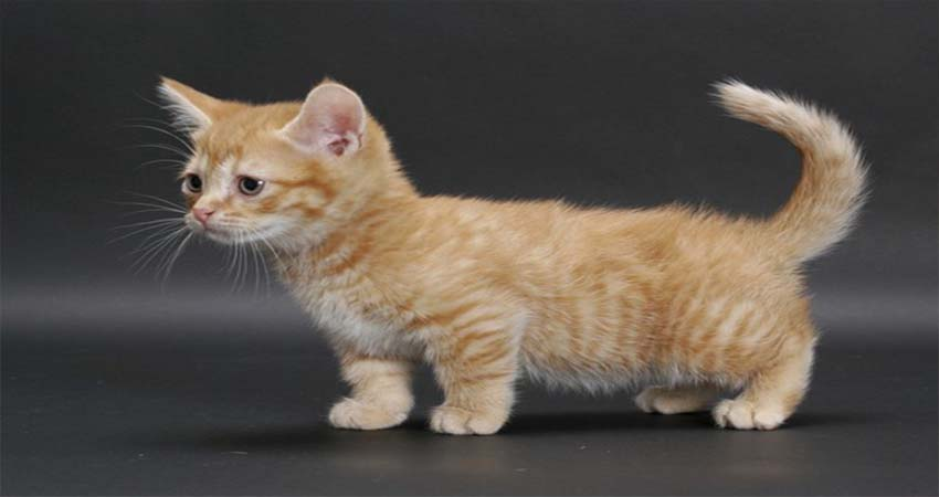 Munchkin Cat: The Tiny and Friendly Cats as Your Pets